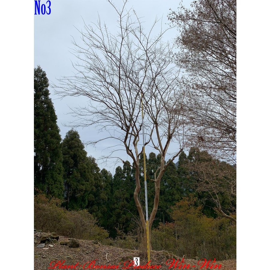New Release 植木 百日紅(サルスベリ)(紅色:RED) No3