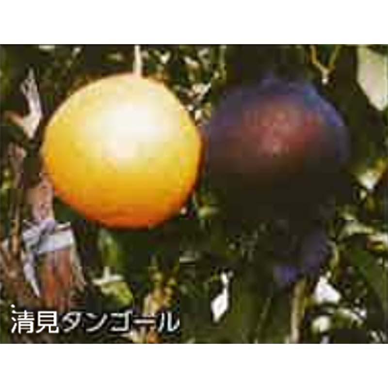 【4000枚】 果実袋 サンテ S-6 12cm 黒 ミカンの日焼防止・着色促進・樹上越冬など みかん 石川殖産 D