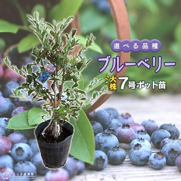 ブルーベリー (5年生) 7号ポット苗木 大苗 (選べる品種) produce87