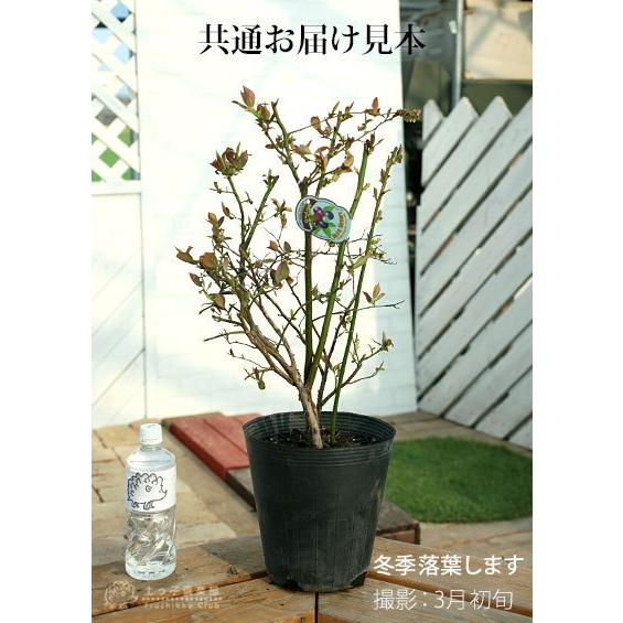 ブルーベリー (5年生) 7号ポット苗木 大苗 (選べる品種) produce87 02