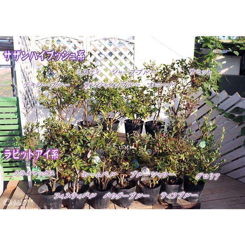ブルーベリー (5年生) 7号ポット苗木 大苗 (選べる品種) produce87 04