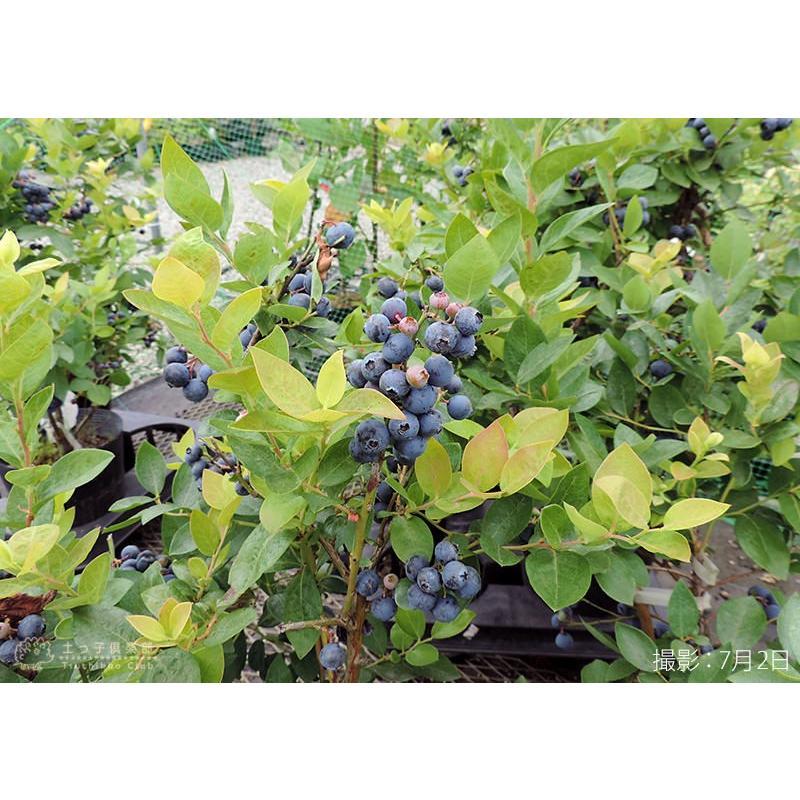 ブルーベリー (5年生) 7号ポット苗木 大苗 (選べる品種) produce87 06