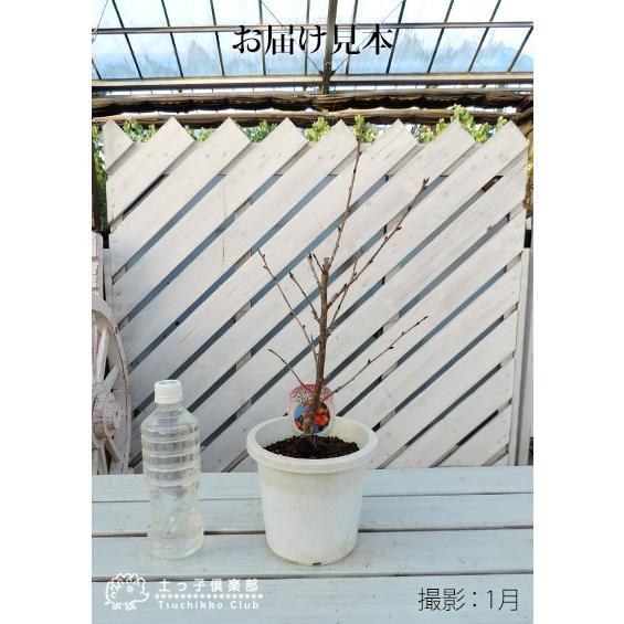 1本でなる 『 暖地さくらんぼ 』 5号鉢植え ( 今期収穫OK )|produce87|02