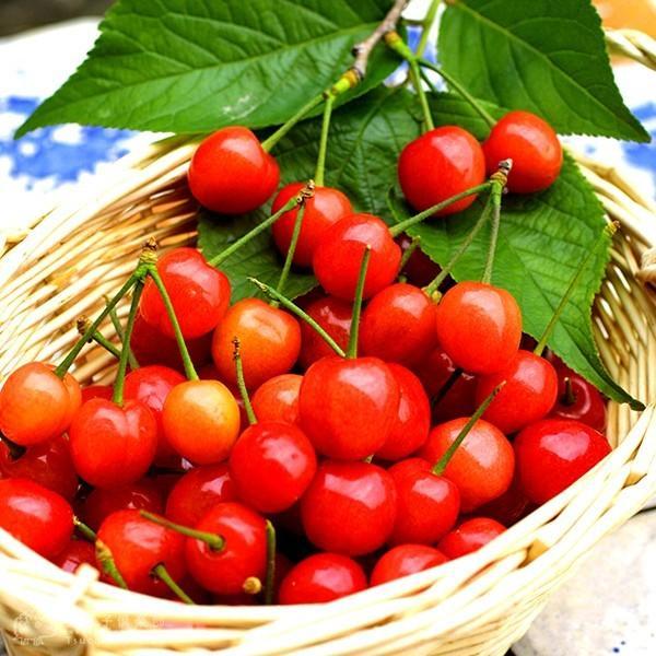 1本でなる 『 暖地さくらんぼ 』 5号鉢植え ( 今期収穫OK )|produce87|11