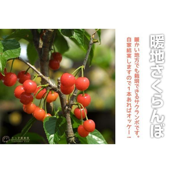 1本でなる 『 暖地さくらんぼ 』 5号鉢植え ( 今期収穫OK )|produce87|12