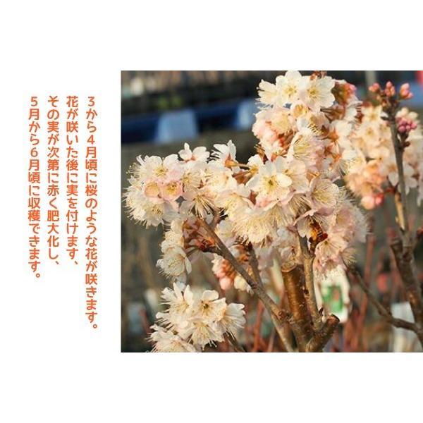 1本でなる 『 暖地さくらんぼ 』 5号鉢植え ( 今期収穫OK )|produce87|13