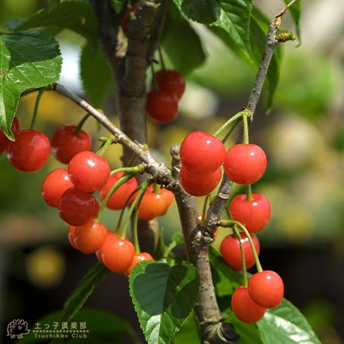 1本でなる 『 暖地さくらんぼ 』 5号鉢植え ( 今期収穫OK )|produce87|15