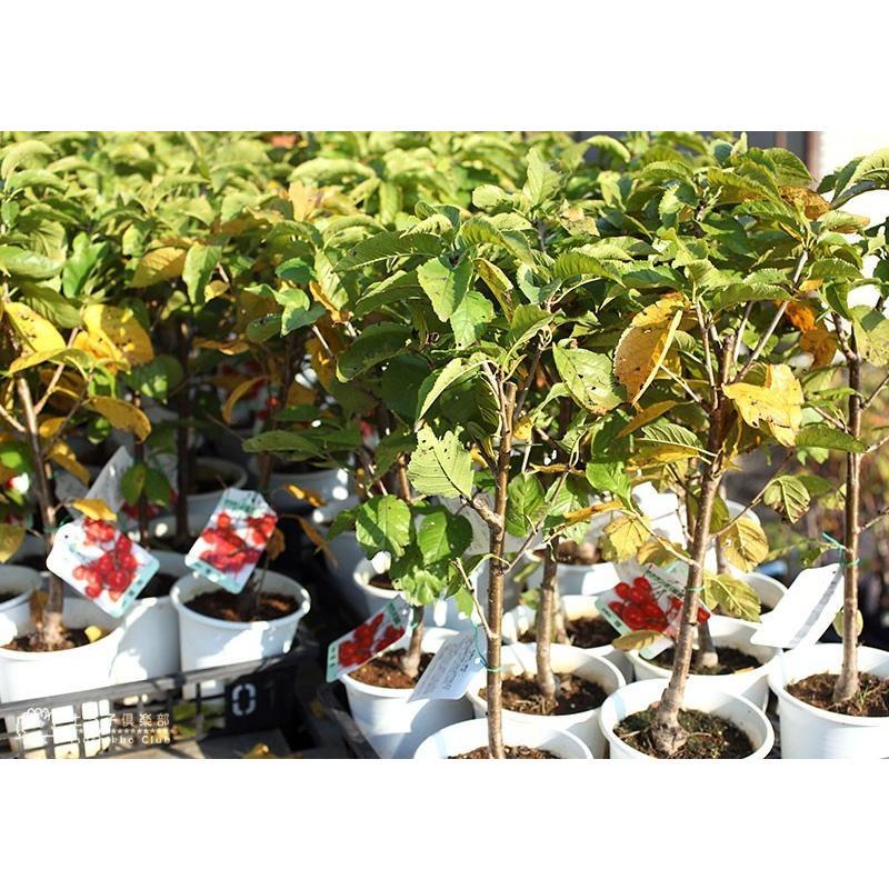 1本でなる 『 暖地さくらんぼ 』 5号鉢植え ( 今期収穫OK )|produce87|16