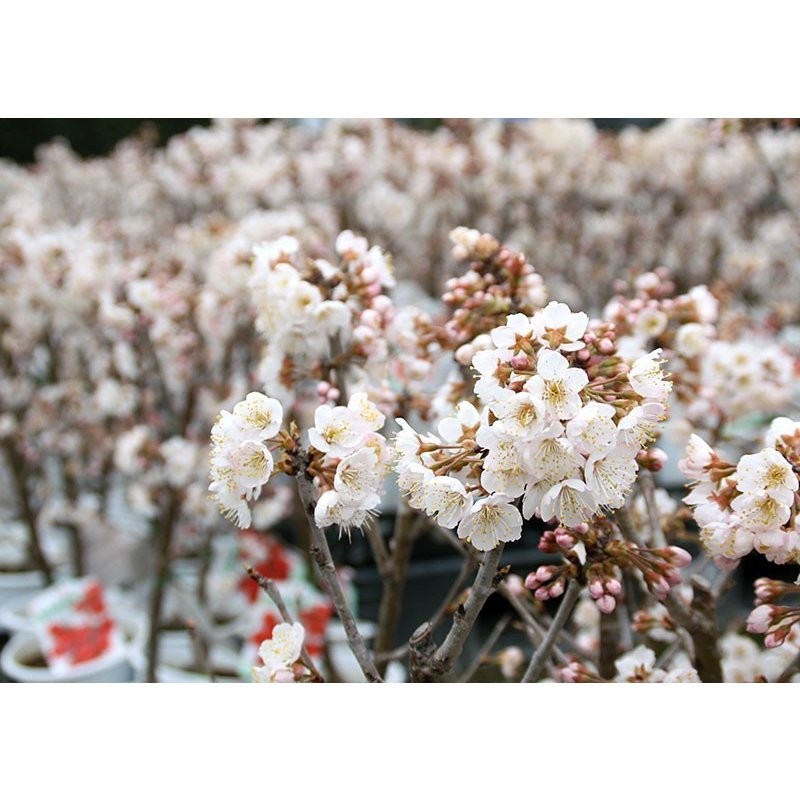 1本でなる 『 暖地さくらんぼ 』 5号鉢植え ( 今期収穫OK )|produce87|17