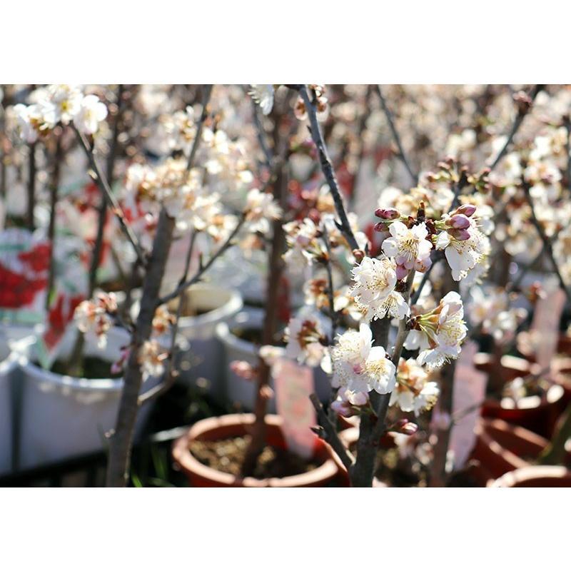 1本でなる 『 暖地さくらんぼ 』 5号鉢植え ( 今期収穫OK )|produce87|18