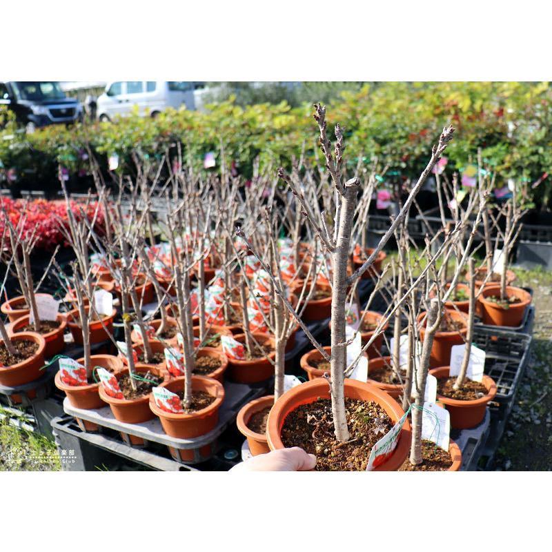 1本でなる 『 暖地さくらんぼ 』 5号鉢植え ( 今期収穫OK )|produce87|19