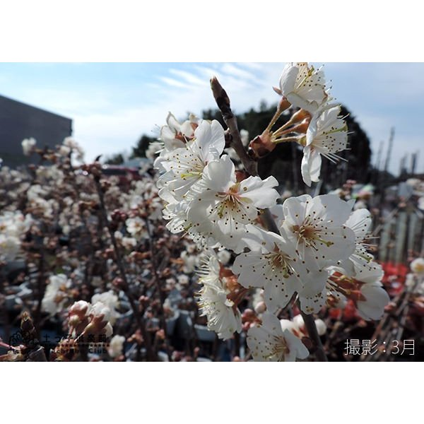 1本でなる 『 暖地さくらんぼ 』 5号鉢植え ( 今期収穫OK )|produce87|04