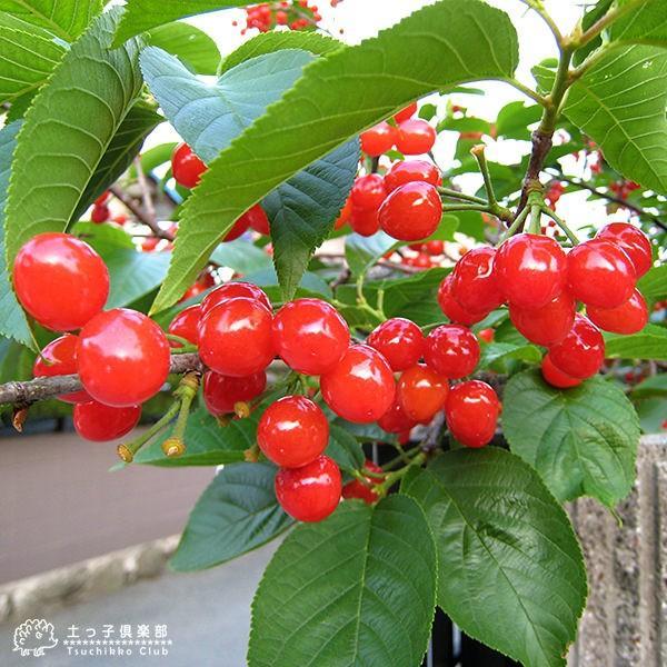 1本でなる 『 暖地さくらんぼ 』 5号鉢植え ( 今期収穫OK ) :f-001:花 ...