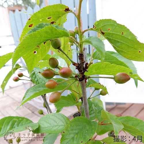 1本でなる 『 暖地さくらんぼ 』 5号鉢植え ( 今期収穫OK )|produce87|06