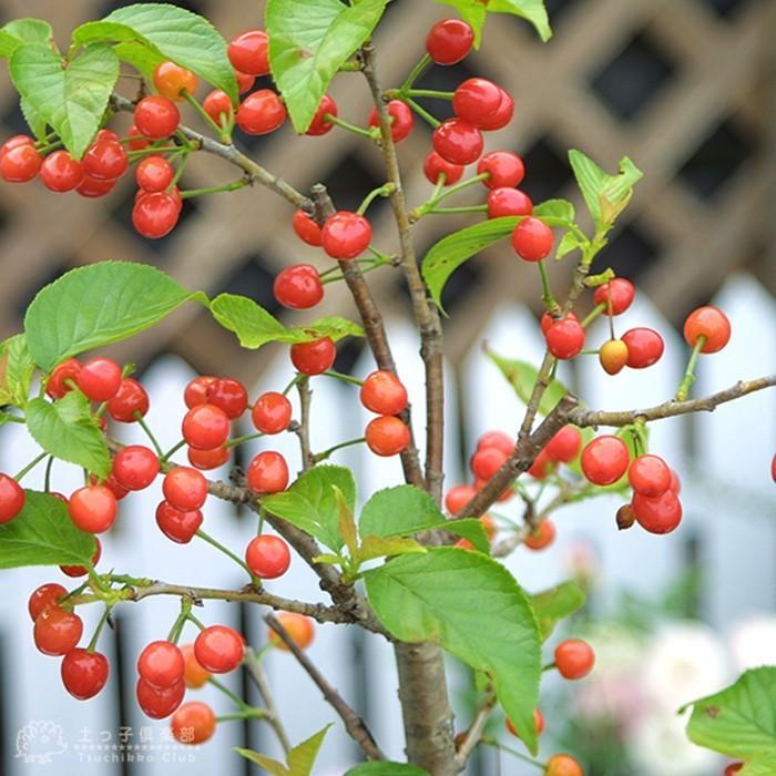 1本でなる 『 暖地さくらんぼ 』 5号鉢植え ( 今期収穫OK )|produce87|08