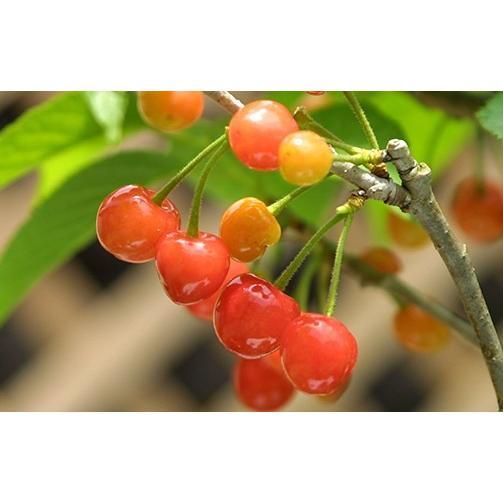 1本でなる 『 暖地さくらんぼ 』 5号鉢植え ( 今期収穫OK )|produce87|09