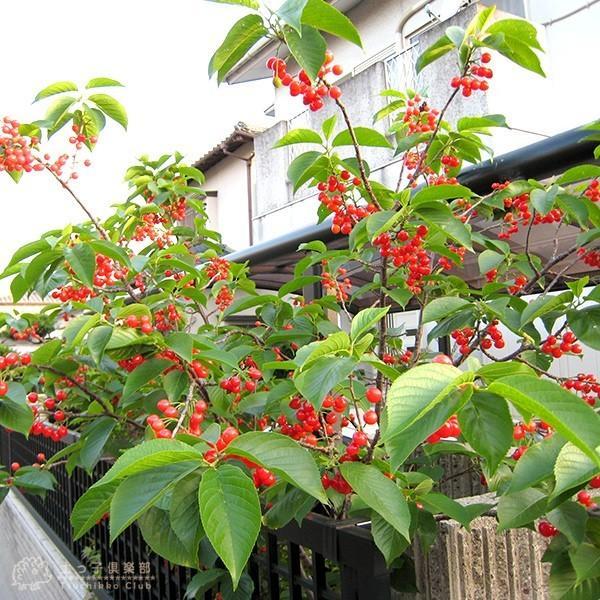 1本でなる 『 暖地さくらんぼ 』 5号鉢植え ( 今期収穫OK )|produce87|10