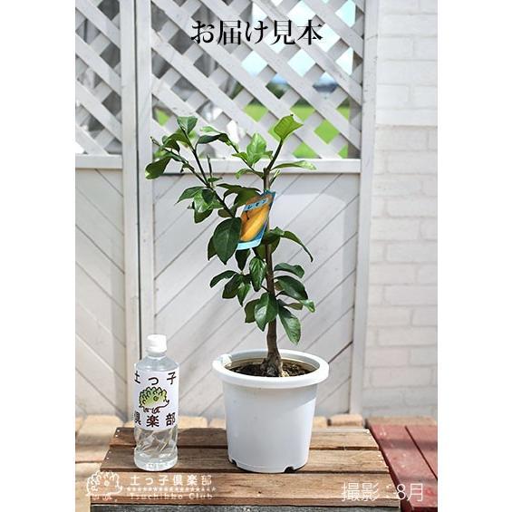 トゲなしレモン 6号鉢植え 接ぎ木苗|produce87|02