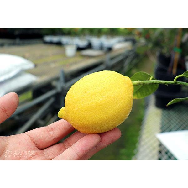 トゲなしレモン 6号鉢植え 接ぎ木苗|produce87|11