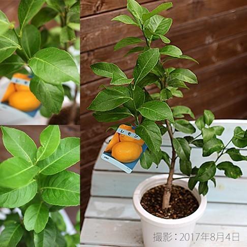 トゲなしレモン 6号鉢植え 接ぎ木苗|produce87|03