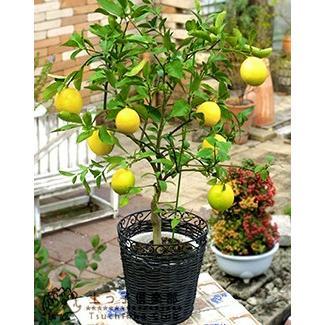 トゲなしレモン 6号鉢植え 接ぎ木苗|produce87|04
