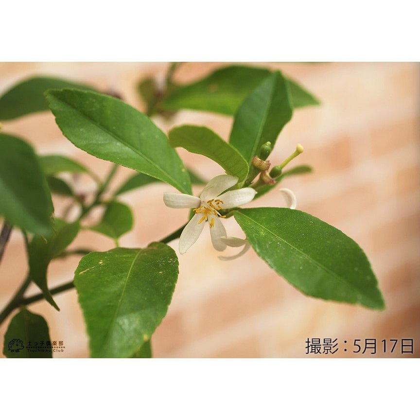 トゲなしレモン 6号鉢植え 接ぎ木苗|produce87|05