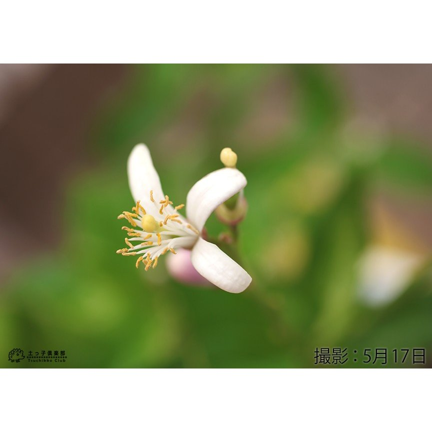 トゲなしレモン 6号鉢植え 接ぎ木苗|produce87|06