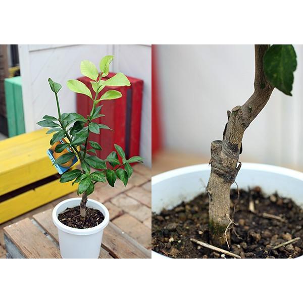 トゲなしレモン 6号鉢植え 接ぎ木苗|produce87|07
