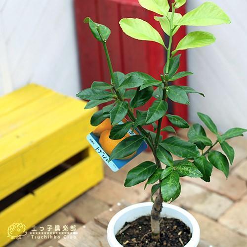 トゲなしレモン 6号鉢植え 接ぎ木苗|produce87|08