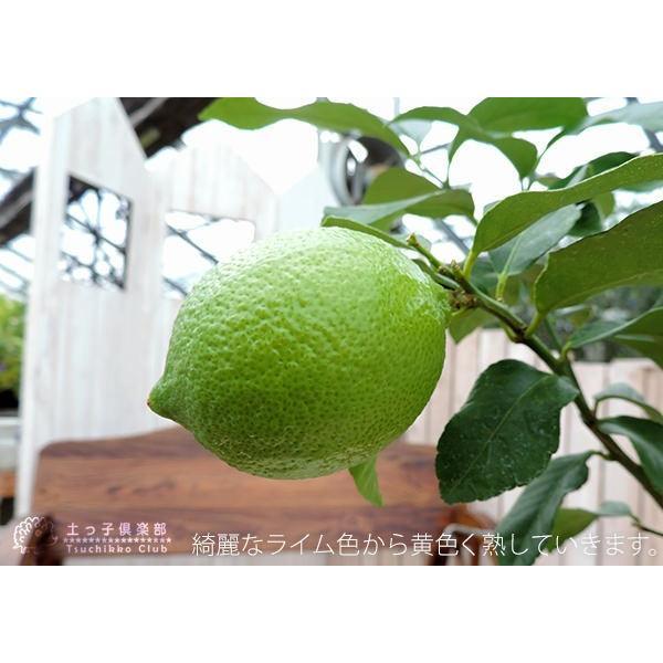 トゲなしレモン 6号鉢植え 接ぎ木苗|produce87|09
