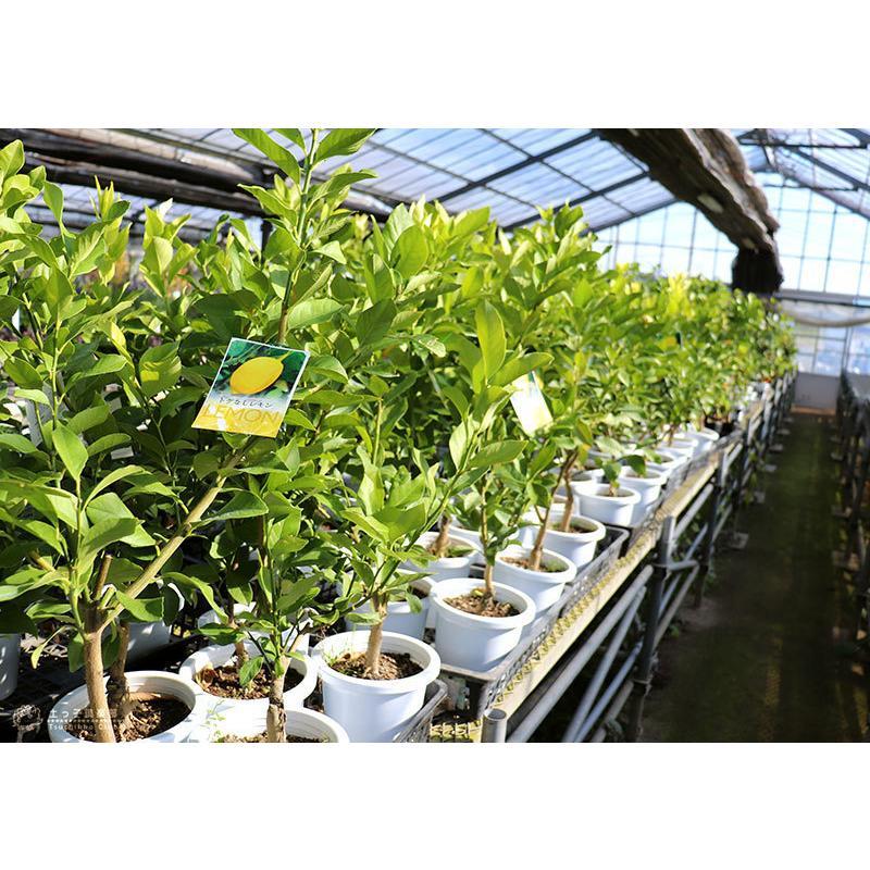 トゲなしレモン 6号鉢植え 接ぎ木苗|produce87|10