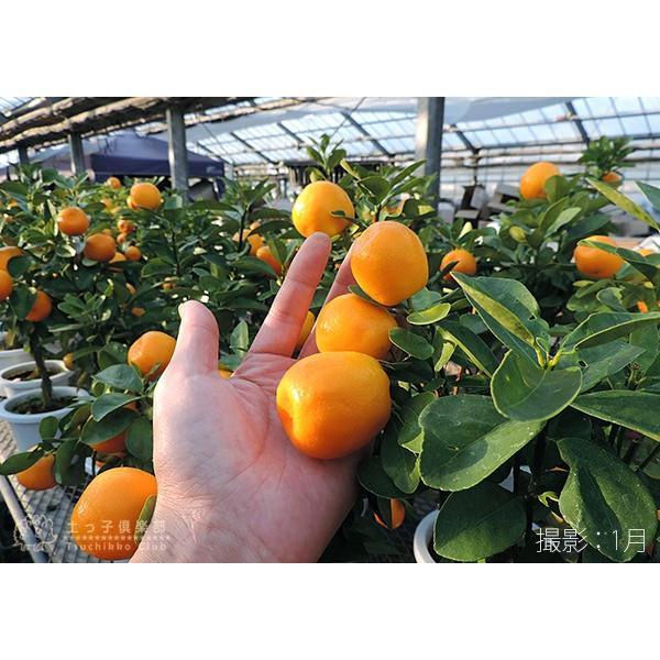 大実キンカン ( 福寿金柑 ) 接ぎ木苗 6号鉢植え (※今季の実付き苗の販売は終了しています)|produce87|03