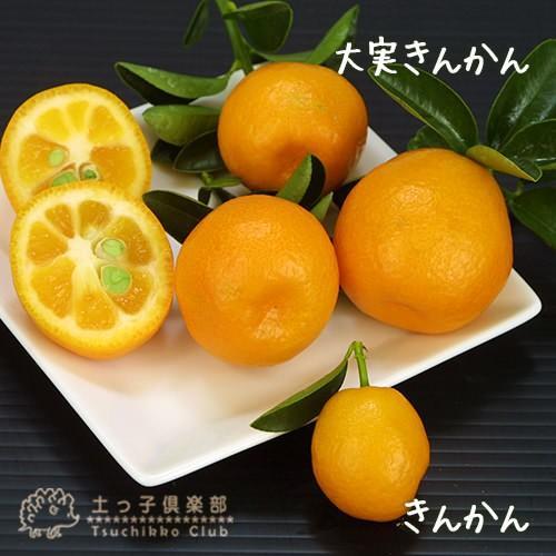 大実キンカン ( 福寿金柑 ) 接ぎ木苗 6号鉢植え (※今季の実付き苗の販売は終了しています)|produce87|04