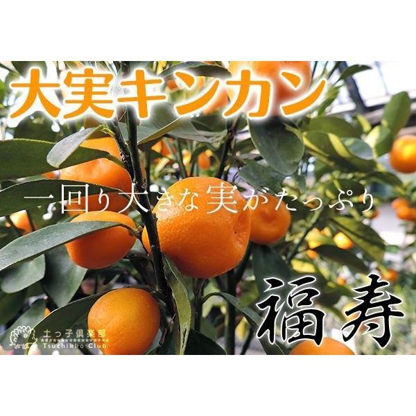 大実キンカン ( 福寿金柑 ) 接ぎ木苗 6号鉢植え (※今季の実付き苗の販売は終了しています)|produce87|06