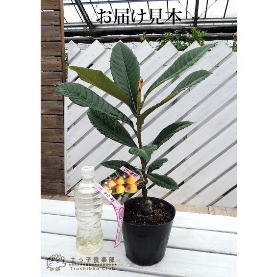 びわ 『 なつたより 』2年生 接ぎ木 13.5cmポット苗木 produce87 02