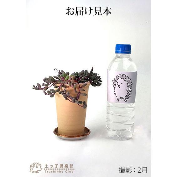 多肉植物 『 ルビーネックレス 』 7.5cmポット苗 ( 鉢と受け皿プレゼント )|produce87|02