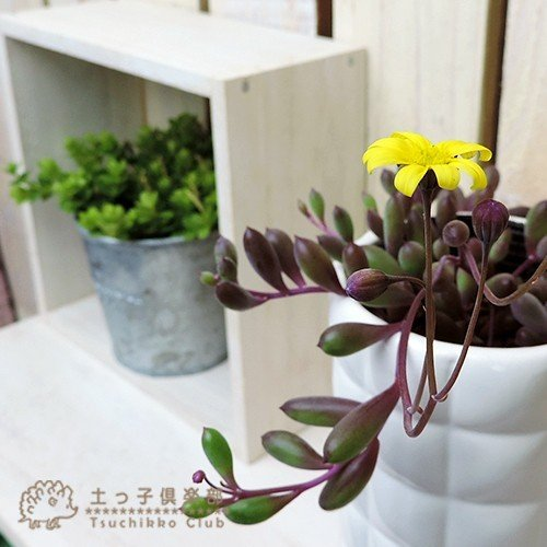 多肉植物 『 ルビーネックレス 』 7.5cmポット苗 ( 鉢と受け皿プレゼント )|produce87|03