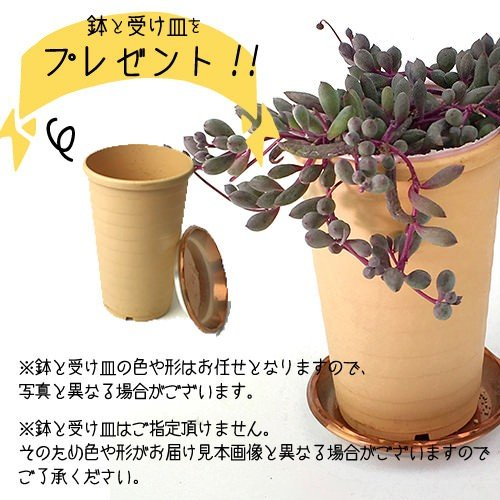 多肉植物 『 ルビーネックレス 』 7.5cmポット苗 ( 鉢と受け皿プレゼント )|produce87|05