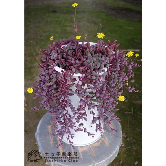 多肉植物 『 ルビーネックレス 』 7.5cmポット苗 ( 鉢と受け皿プレゼント )|produce87|06