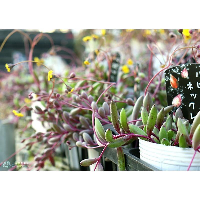 多肉植物 『 ルビーネックレス 』 7.5cmポット苗 ( 鉢と受け皿プレゼント )|produce87|07