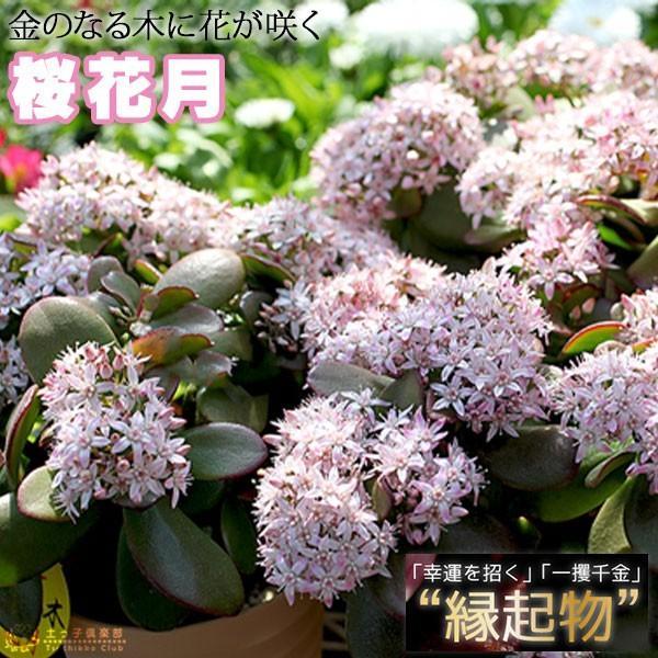 《 花芽付き 》 花咲く多肉植物 『 桜花月 ( サクラカゲツ )』 11cm鉢 ( 金のなる木 ) produce87