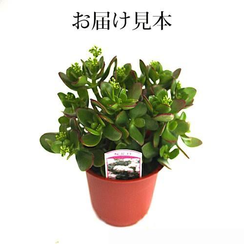 《 花芽付き 》 花咲く多肉植物 『 桜花月 ( サクラカゲツ )』 11cm鉢 ( 金のなる木 ) produce87 02