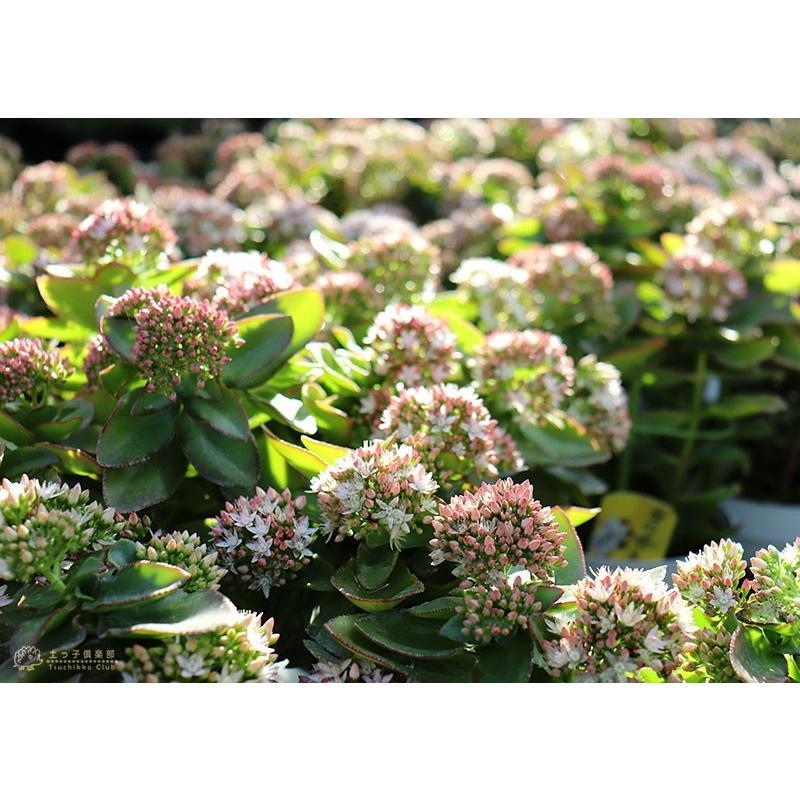 《 花芽付き 》 花咲く多肉植物 『 桜花月 ( サクラカゲツ )』 11cm鉢 ( 金のなる木 ) produce87 12