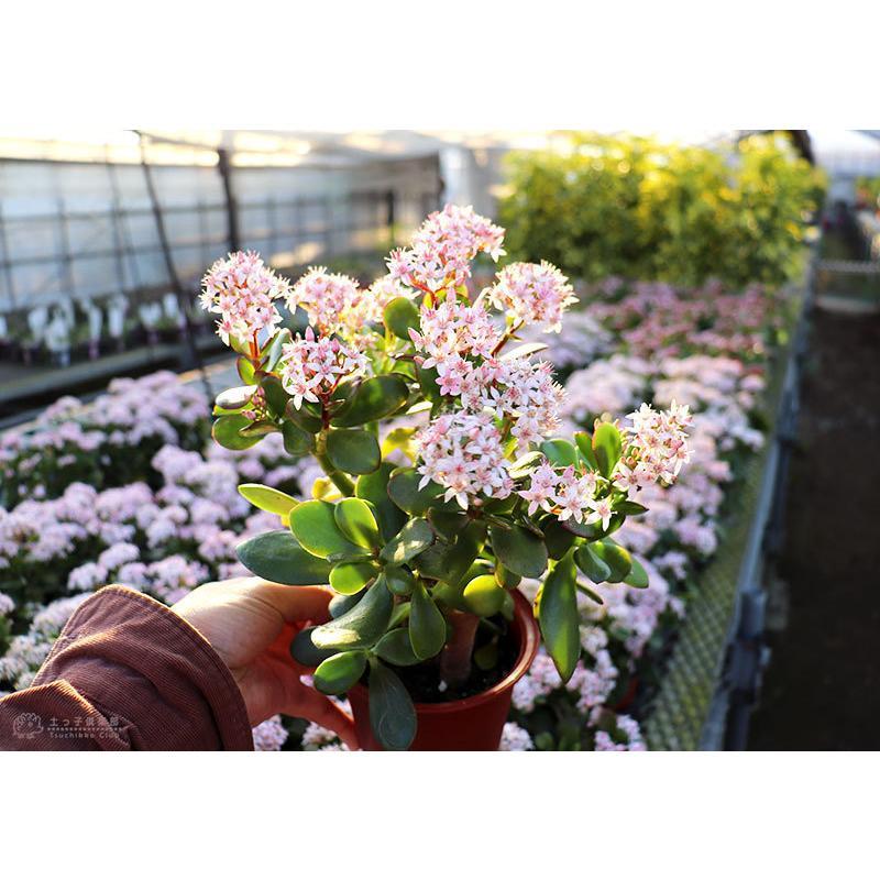 《 花芽付き 》 花咲く多肉植物 『 桜花月 ( サクラカゲツ )』 11cm鉢 ( 金のなる木 ) produce87 13