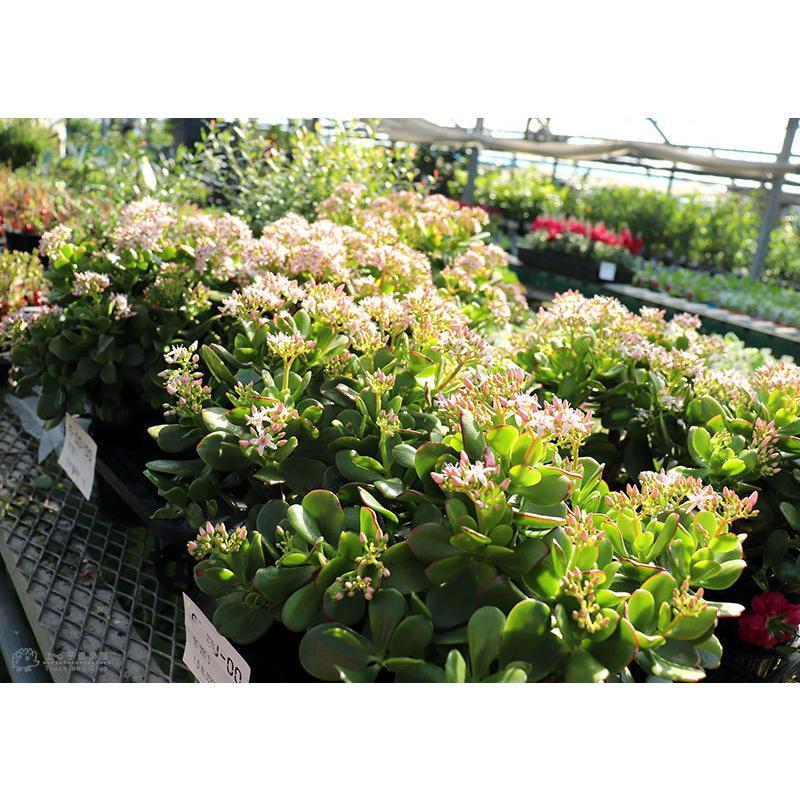 《 花芽付き 》 花咲く多肉植物 『 桜花月 ( サクラカゲツ )』 11cm鉢 ( 金のなる木 ) produce87 14