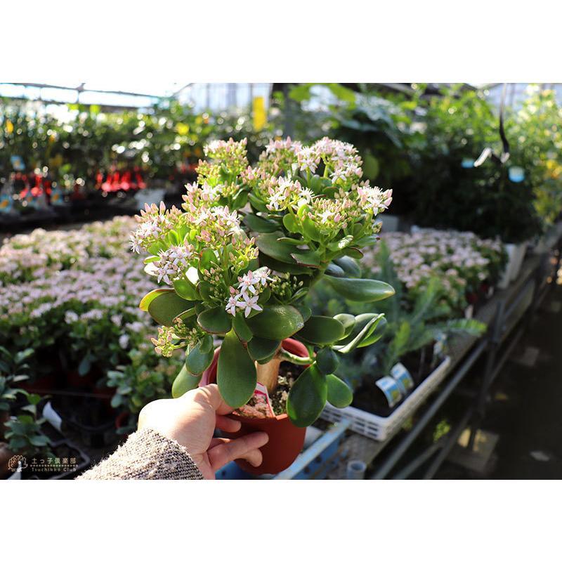 《 花芽付き 》 花咲く多肉植物 『 桜花月 ( サクラカゲツ )』 11cm鉢 ( 金のなる木 ) produce87 15