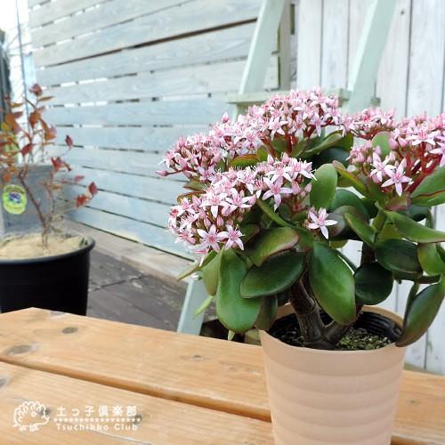 《 花芽付き 》 花咲く多肉植物 『 桜花月 ( サクラカゲツ )』 11cm鉢 ( 金のなる木 ) produce87 06