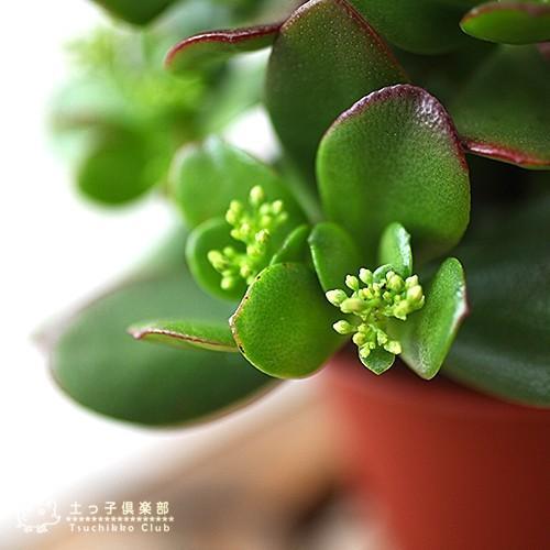 《 花芽付き 》 花咲く多肉植物 『 桜花月 ( サクラカゲツ )』 11cm鉢 ( 金のなる木 ) produce87 07