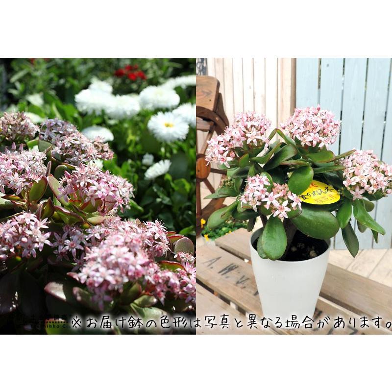 《 花芽付き 》 花咲く多肉植物 『 桜花月 ( サクラカゲツ )』 11cm鉢 ( 金のなる木 ) produce87 08
