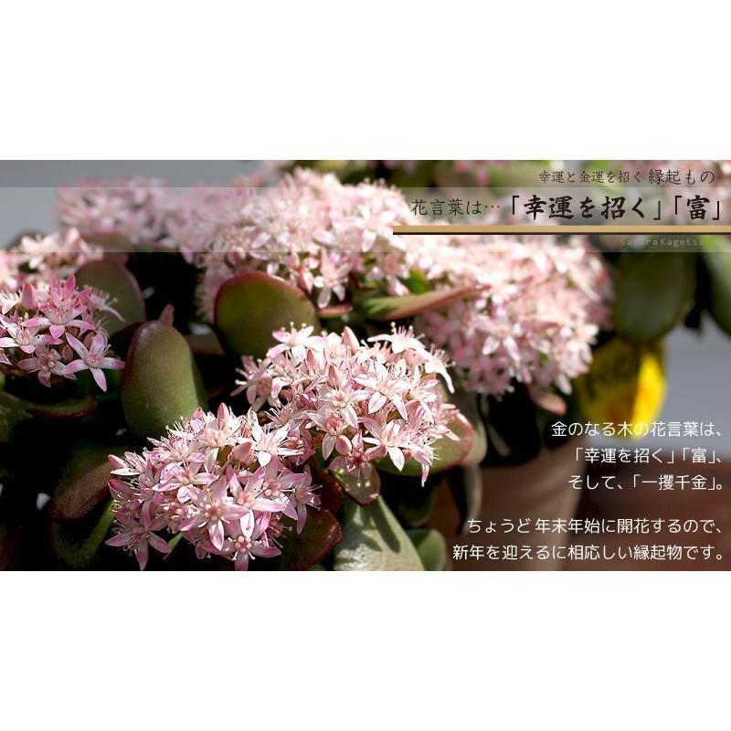 《 花芽付き 》 花咲く多肉植物 『 桜花月 ( サクラカゲツ )』 11cm鉢 ( 金のなる木 ) produce87 09